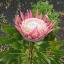 Protea thumbnail 2