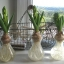 Hyacinth thumbnail 12