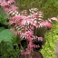 Toona Sinensis (Flamingo Tree) thumbnail 5