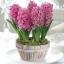 Hyacinth thumbnail 3