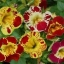 Mimulus (Tiger Monkey Flower) มิมูลัส thumbnail 3