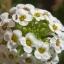 Alyssum อะลิสซั่ม thumbnail 2
