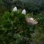 Protea thumbnail 5