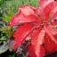 Amaranthus อะมารันทัส thumbnail 4