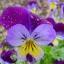 Viola thumbnail 1