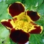 Mimulus (Tiger Monkey Flower) มิมูลัส thumbnail 5