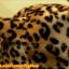 หมวกขนนุ่ม มีเขา ลายเสือดาว สีน้ำตาล น่ารักมากกกก thumbnail 3