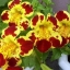 Mimulus (Tiger Monkey Flower) มิมูลัส thumbnail 1