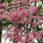 Toona Sinensis (Flamingo Tree) thumbnail 1