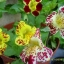 Mimulus (Tiger Monkey Flower) มิมูลัส thumbnail 2