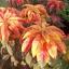 Amaranthus อะมารันทัส thumbnail 5