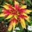 Amaranthus อะมารันทัส thumbnail 1